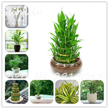 40 Pcs Lucky Bamboo Seeds Can be Choose Potted Variety Complete Dracaena Seed the Budding Rate 95% adiation absorption fresh air