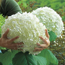 Loss Promotion! 10 White Hydrangea Flower seeds,charming color ,gorgeous balcony or yard flower plant