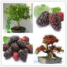 20seeds mulb erry bags Mulberry fruit seeds DIY home bonsai Morus Nigra Tree, black mulberry seeds(China)