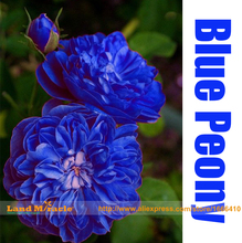 Double Light Blue Tree Peony Seeds, 'Noble' Rare Peony Tree Plant, 5Seeds/Pack, Strong Fragrant Garden Subshrubby Peony
