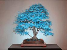 Rare sky blue Japan balcony plants a garden of Maple seeds. Bonsai tree seeds blue Maple Leaf Chinese Restaurant tree seeds. 10