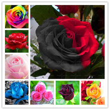 Loss Promotion!!!200pcs/bag rare color rose seeds rainbow black blue rose home Garden Perennial plant flower exotic bonsai seeds(China)