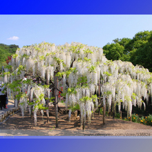 100% True Variety White Wisteria Flower Woody Plant Seeds, Professional Pack, 100 Seeds / Pack, Light Fragrant Flower #NF782