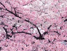 20seeds/bag Pink Cherry Blossoms tree Seeds Free Shipping bonsai tree seeds