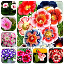 100 seeds / bag Gloxinia seeds plant flowers Plena sinningia gloxinia bonsai for garden Flower potted planters