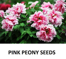 2016 New Arrival China National Flower Peony Seedling Seeds, Pink, Red and White color, 10 Seeds / Pack, Light Fragrant Garden F(China)
