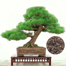 50 Piece Five-Leaved Pine Tree Seeds Potted Landscape Japanese Five Needle Pine Bonsai Miniascape bonsai Pinus Thunbergii Seeds
