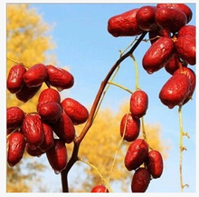 premium Xinjiang organic red dates green food for health red Jujube date 500g dried fruit good for women 1