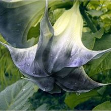 Black  white color bonsai datura seeds DWARF Brugmansia suaveolens Flamenco flower seeds for home garden 50 pcs