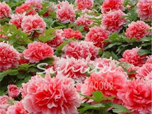 15 pcs Chinese Paeonia Suffruticosa Red Peony Tree Seeds, Easy to Grow DIY Home Garden Flower Seeds For Sale