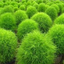 summer cypress seed,Kochia broom seedlings peacock pine ,200/BAG(China)