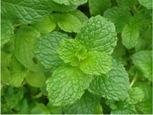 Low sales lemon mint, perennial anti-cold lemon mint, lime mint edible - 100 Seed particles