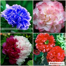 RARE CHINA'S TREE PEONY SEEDS PAEONIA SUFFRUTICOSA FLOWERS garden decoration plant free  A variety of colors 20pcs F01