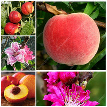 3pcs/ bag Exotic Peach Seeds Dwarf Sweet Juicy Organic Bonsai Fruit Tree Ornamental Plant Sementes for Garden Decor(China)