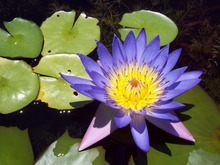 5 BLUE LOTUS Nymphaea Caerulea Asian Water Lily Pad Flower Pond Seeds Q004