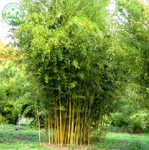 Potted plant seeds Bonsai 100 seeds bamboo seeds Home Garden Plant Fresh green bamboo Phyllostachys aureosulcata Spectabilis d25(China)