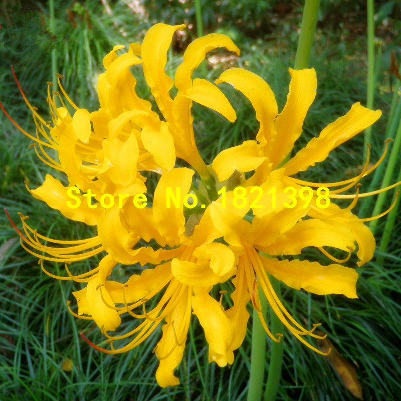 Yellow Spider lily bulbs seeds Bonsai Flower Seeds Potted Plants Flowers 5 Particles / Bag