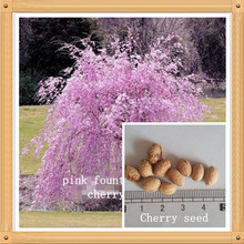 10PC Pink Fountain Weeping Cherry Tree Seeds DIY Home Garden Dwarf Tree Seeds Perennial Free Shipping