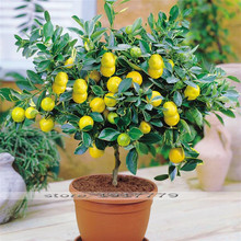 Lemon tree semillas bonsai tree fruit seeds. lemon amarilla orgánica de semillas de plantas bonsai de interior para el hogar gatden 30 unids/bolsa