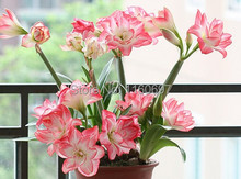 Flower bulbs shocking pink big 2bulbs amaryllis  sementes de flores amaryllis bulbs casa e jardim garden Home decoration gift