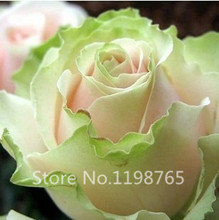 Free Shipping 200 Seeds China Rare Dancing queen rose seeds Rose Flower