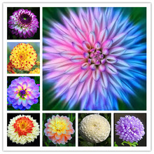 Hot sale dahlia,dahlia flower vary Colors Dahlias Seeds For DIY Home Garden free shipping 100 seeds /bag(China)
