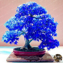 20pcs Purple Blue Ghost Japanese Maple Tree (Acer Palatum)Bonsai Flower Seeds Tree Seeds Potted Plant For Home & Garden