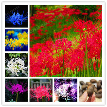 Rare Color Mixing Lycoris Radiata Bulbs,(Not Seeds), Potted Plants Planting Seasons Indoor Bonsai Plant For Home Garden-2 Bulbs(China)