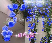 Chinese Flower Seeds , 200 PC blue Chinese rose seeds,Climbing Plants for Home & Garden(China)