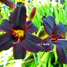 50 Pcs / Bag Hemerocallis Seed Tawny Daylily Potted Planting Planter Seasons Bonsai For Garden Flowering Plants Chinese Pot Seed