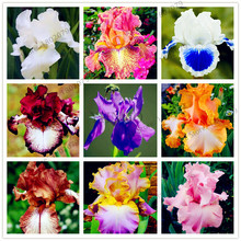 50pcs/bag mixed color Iris Flower Seeds,Rare Flower Seeds bearded iris seeds, Nature plants Orchid flower DIY for Garden(China)