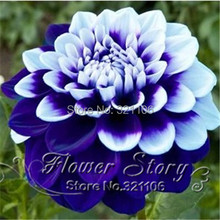100 Tomo Pilot Dahlia flower seeds,beautiful flower and easy to grow, Free Shipping