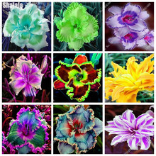 Recommend Seeds Daylily Flower Seeds Delicious Vegetable Seeds 120pcs Professional Pack The Best Gift For The Wife