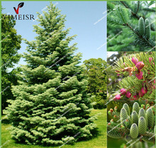 Balsam Fir Seeds-Abies fabri-Christmas Tree Conifer rare bonsai plants tree seeds for DIY home garden decoration tree30seeds/bag
