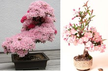 10pcs / bag Japan mini sakura Seeds, pink colour cherry blossom Sakura Seeds, easy grow bonsai tree, garden plant pot
