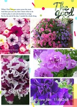 Petunia flowers, morning glory seeds, petals multicolor, Playmates, blending plants, 100pcs