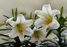 Lily Seeds,Free Shipping Cheap Perfume Lily Seeds, mixing different varieties - 50 SEEDS /PACK