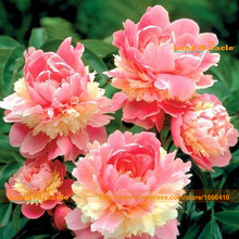 Flower Seeds, Very Beautiful China's Peony Seeds, 5 Seeds/Pack, Open Wings Double Paeonia Suffruticosa