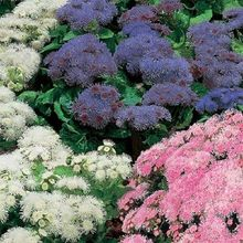 50+seeds/packageratum Rare Hawaii Mix Flower Seeds  Garden Decoration Bonsai Flower Seeds
