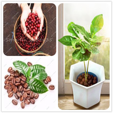 10 Pcs / bag Fresh Coffee Beans Seed Home-Grown Cocoa Bean Plant Genuine Seeds For Sale