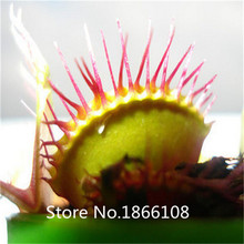 home & garden Hot sale Magical strange 300pcs/lot Venus flytrap Dionaea muscipula nepenthes flycatcher Carnivorous Plant Seeds(China)