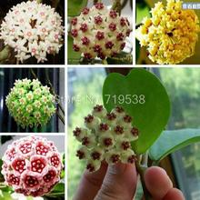 Hoya seeds, potted flower seed, variety complete Hoya carnosa seeds 10 particles / pack