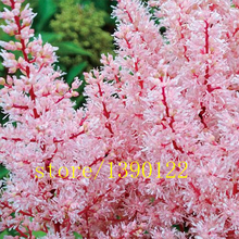 100pcs pink Astilbe seeds, Astilbe Chinensis Pumila bonsai Flower seeds Perennial potted Plants for home garden