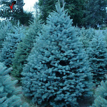 True Colorado Blue Spruce Tree Seeds-Picea pungens -Bonsai potted plants blue tree seeds ornamental christmas tree10seeds/bag(China)
