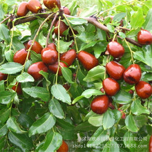 jujube jujube seed fruiting more direct Claret 5 Seeds/Pack