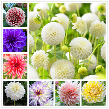 2016 New Arrival! 2 PCS/bag rare dahlia bulbs,Four Seasons Flower mix 24 colors Bonsai Seeds Pot Plant for Home &Garden