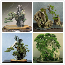 50 seeds/bag rock bonsai,bonsai tree, bonsai seeds,Indoor decorations,for home garden planting