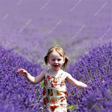500 Pcs Lavender seeds herb seed garden balcony pot Four Seasons flower seeds Free shipping(China)