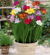 100 Freesias seeds , gorgeous DIY garden colorful & fragrant flower plant ,ideal decorative flower(China)