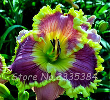 200 Pcs/Bag Multi Color Daylily Flowers Seed,Hybrid Hemerocallis Seeds Large Size Flowering Home Garden Ground Cover Seed